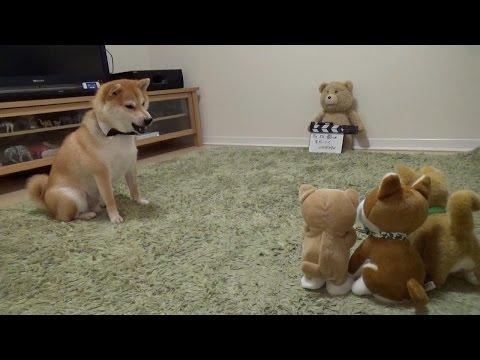 柴犬だいふく VS 動く柴犬おもちゃ〜強い子どっち!?〜