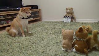 柴犬だいふくが動く柴犬おもちゃと一発触発状態!? 身体は大きいのにへ...