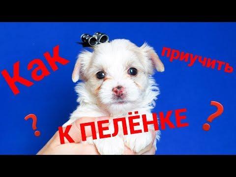 Как приучить щенка к пеленке / Питомник йоркширских терьеров / Щенок йорка