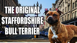 (REUPLOAD) THE STAFFORDSHIRE BULL TERRIER  A QUICK LOOK AT THE HISTORY AND BREED STANDARD