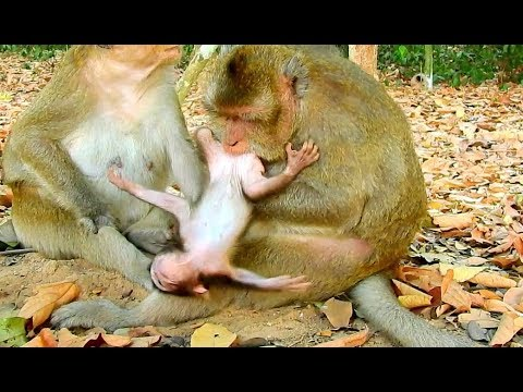 Breaking Heart Pity Baby Monkey Gino ! Why Mom Show This | Gino Cry Angry mom.