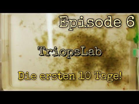1. Generation Triops Granarius - Die ersten 10 Tage sind geschafft!