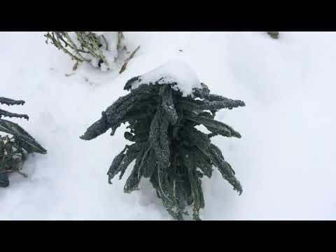 Свежая капуста зимой, кудрявая кале, тосканская кале и брюссельская краснокачанная
