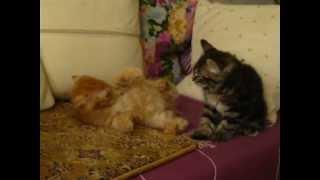 """Помет """"Л"""" 4 котенка (ПДШ): 2 кота и 2 кошки ДР 25.11.2012"""