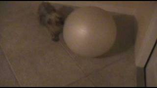 Yappy The Yorkie Goes Crazy For An Inflated Ball