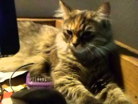 Tales Of Two Siberian Cats: Elizaveta Occupies Mouse