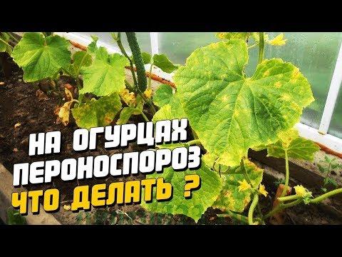 Чем лечить пятна на листьях огурца. Болезнь Пероноспороз.Мой метод борьбы!