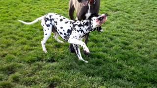 Dalmatian Vs Great Dane
