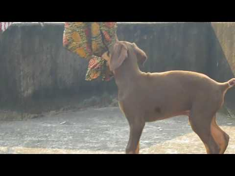 Red Doberman puppy 40 days to 4 years !! Big Strong Male !