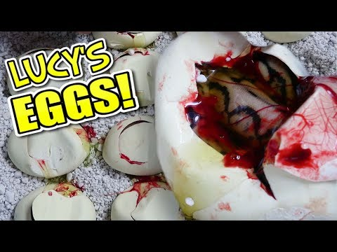 MY GIANT SNAKE (Lucy's) EGGS ARE HATCHING!! COW RETIC GETS CAGE AT MY REPTILE ZOO!! | BRIAN BARCZYK