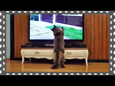 Вечерний сеанс котика Вилли. Кот и телевизор.