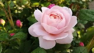 Розы. Королева Швеции Queen Of Sweden Очаровательное цветение 17 июня 2020.