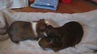 Tootsie Roll Rap (Guinea Pig Freind)
