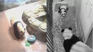 2020-12-24 Xiao Qi Ji ~ Waiting For Panda Claws!