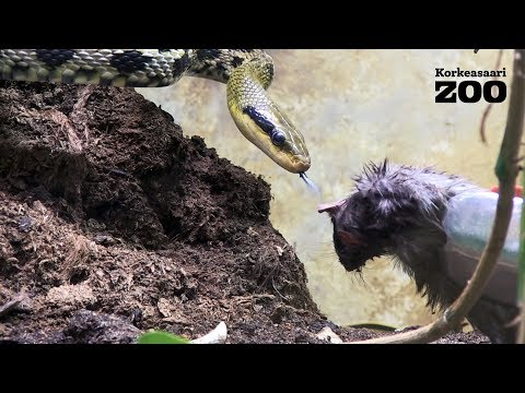 Taiwan Beauty Snake Eats a Rat at Helsinki Zoo (Orthriophis taeniura friesei)