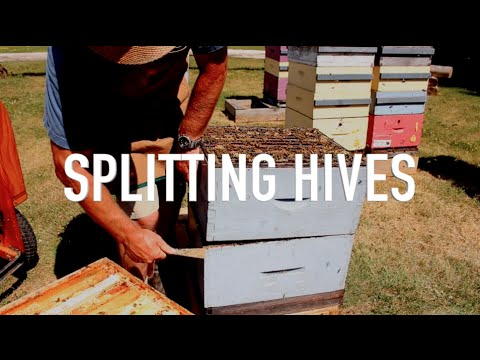 Download Youtube: Splitting Hives