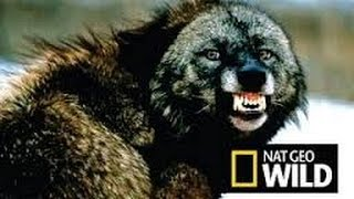Супер Важность волков в экосистеме! Интересные факты о волках. Документальный фильм