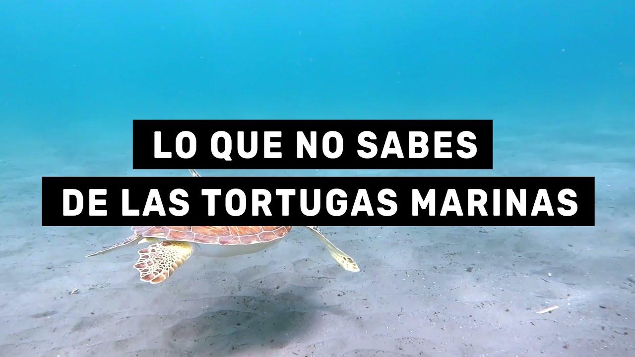Lo que debes saber sobre las tortugas marinas