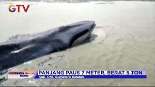 Paus 5 Ton Terdampar di Sungai Ogan Komering Ulu, Sumsel - BIP 26/01