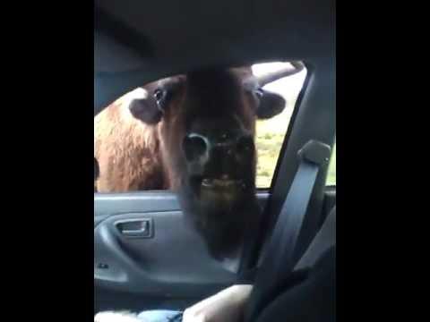Bison Sticks it's head in car