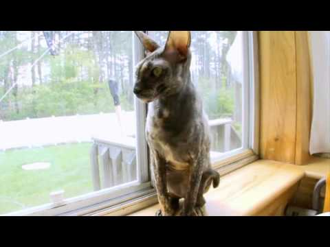 Cats 101: Cornish Rex