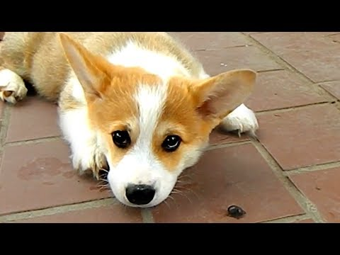 CUTE AND FUNNY CORGI VIDEOS OF THE WEEK! 🐶