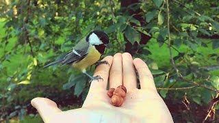 Синички кушают орешки с рук