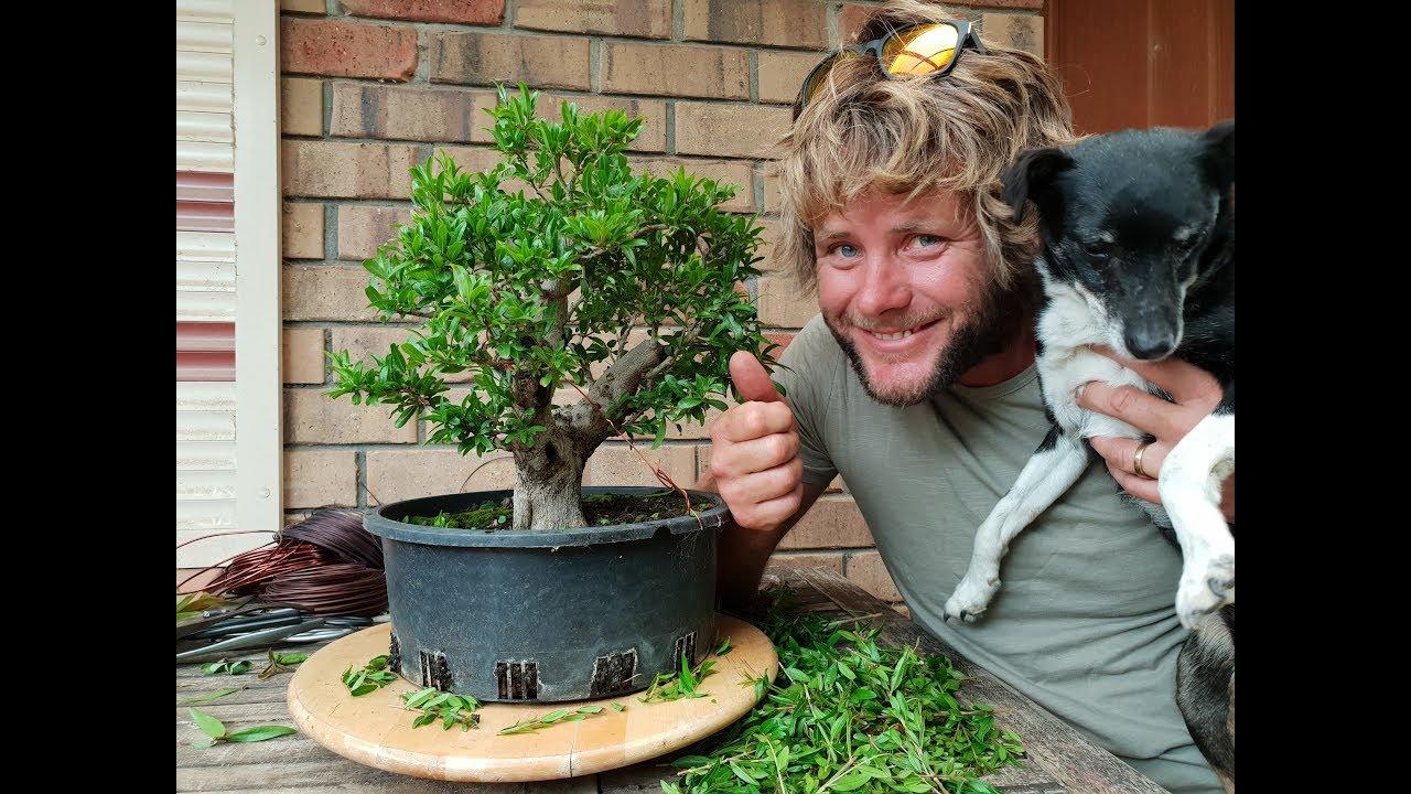 Pomegranate Bonsai Trim 2018 Aussie Bonsai Bloke Youtube