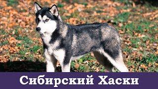 Сибирский Хаски - фотосессия породы