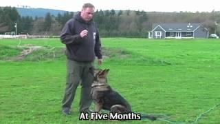 Young German Shepherd Dog Training Program
