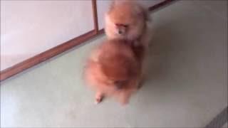 ライオンVSグリズリー ポメラニアンカンフー Pomeranian Kung Fu その48...