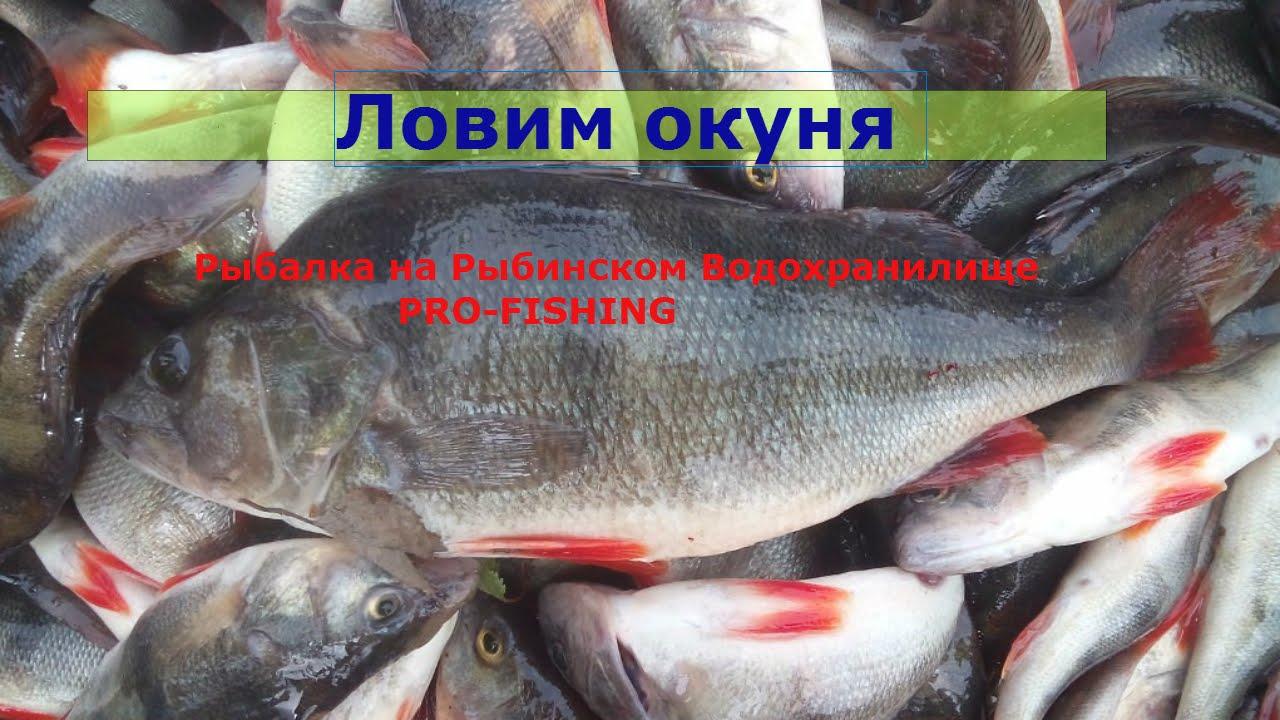 когда можно ловить на рыбинском водохранилище