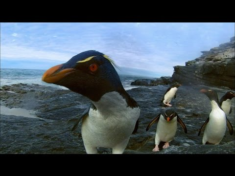 Rockhopper Penguins Make Landfall | Nature on PBS