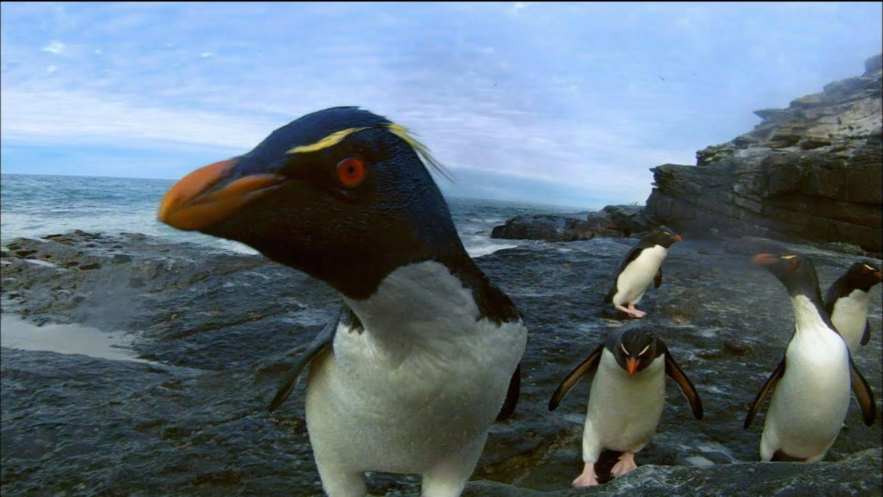 Fascinating Facts About Rockhopper Penguins