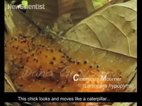 Zoologger: The bird that mimics a toxic caterpillar | New Scientist
