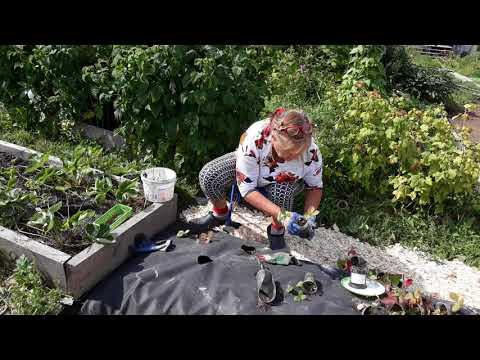 Вопрос: Сколько кустов спаржи для семьи посадить на огороде?