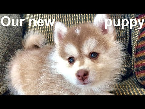 We Got A Puppy, It's A Pomsky!