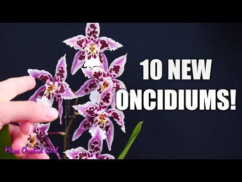 Epic Oncidium Orchid