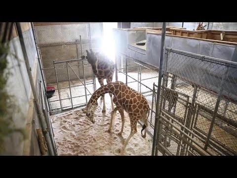 BABY WATCH: Zoo Knoxville Giraffe Frances Expecting Calf