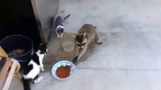 Кошки и Енот Прикол Ржака,я в ШОКЕ!!!Смешные картинки   Приколы