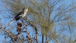 Audio Spring-time Arizona Bird Singing in Maricopa, Arizona