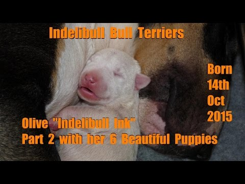 Part 2 Olive indelibull ink progress of six gorgeous English bull terrier puppies