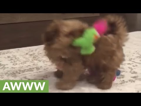 shih-tzu-puppy-plays-in-circles-with-squeaky-toy