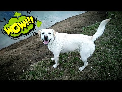 Лабрадор плавает в пруду. Реакция собаки на воду. Throwing My Dog A Pool Party