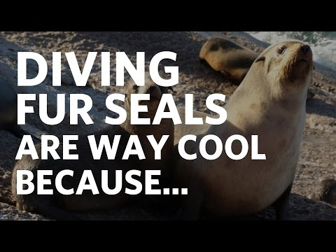 Diving Fur Seals are Way Cool Because...