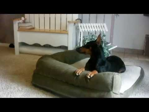 Amazing Doberman puppy shows off her bedtime tricks