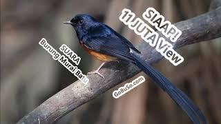 Download Mp3 Pikatan! Suara Burung Murai Batu Medan Mp3   Copsychus Malabaricus