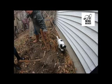 Hunting Rats with a Terrier: Two of Neela's 2019 Rat Hunts