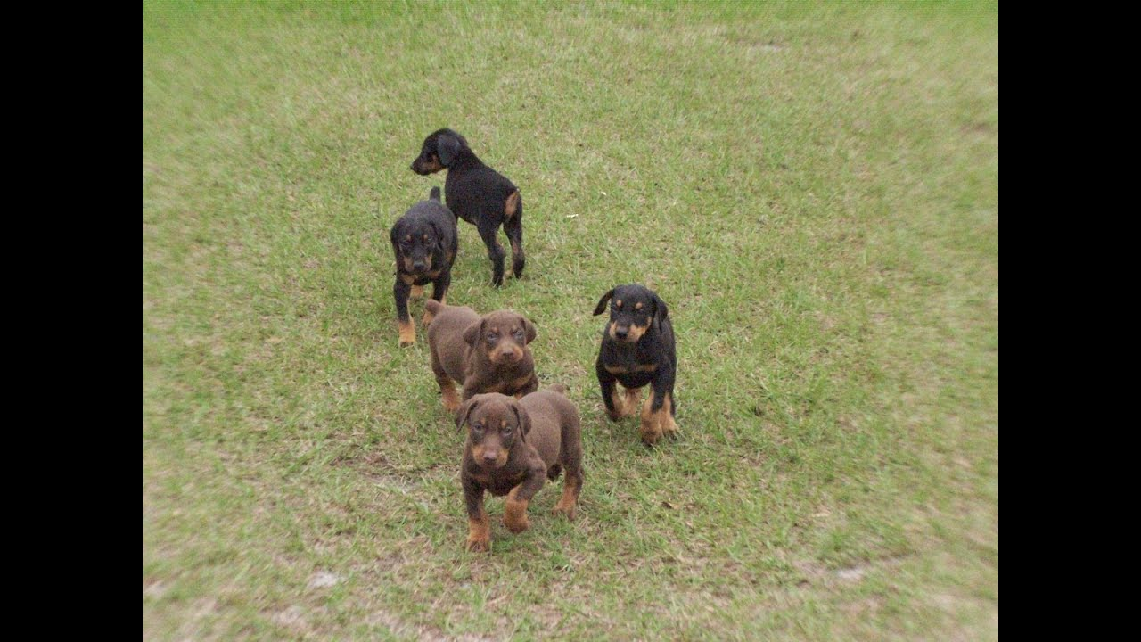 Doberman Pinscher Puppies Dogs For Sale In Charleston South