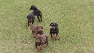 Doberman Pinscher, Puppies, For, Sale, In, Charleston, South Carolina, Sc, Cayce, Beaufort, Bluffton